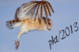 DSC_0111web-barn-owl-flight