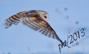 DSC_0112web-barn-owl-in-flight