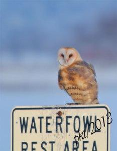 DSC_0344web-barn-owl