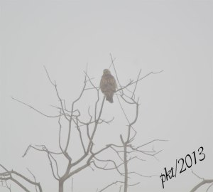 DSC_8992web-hawk-tree-fog