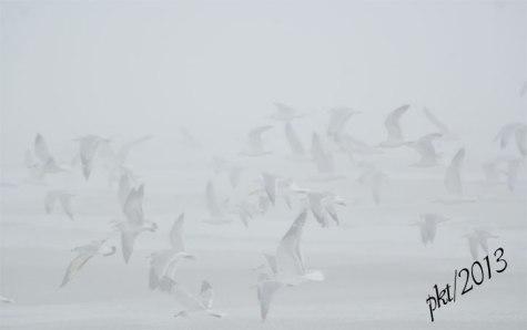 DSC_9025web-seagulls-in-fog