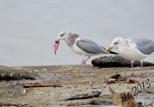 DSC_2387web-herring gull third winter