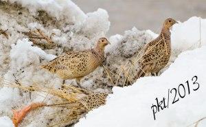 DSC_2397web-hen-pheasants-3