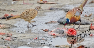 DSC_2462web pheasant eating carp