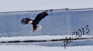 DSC_9082web-eagle-landing