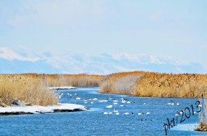 DSC_0614web-swans-ducks