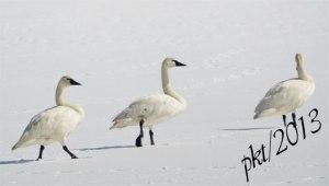 DSC_08253web--swans