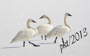 DSC_0830web--3-swans