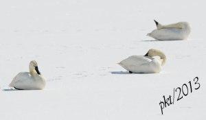 DSC_08673-swans-on-snow
