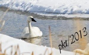 DSC_0907web-swan-floating