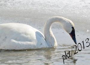 DSC_0913web-swan