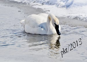 DSC_0949webtundra-swan