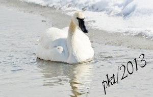 DSC_0960web-swan