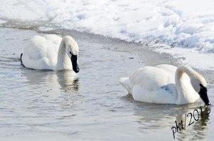 DSC_1009-2web-tundra-swan-swimming