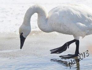 DSC_1040webtundra-swan