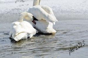 DSC_1066webswan-biting-swan