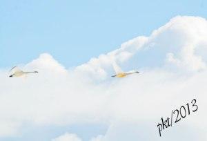 DSC_1182web-swans-in-flight