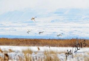 DSC_12234web-swans-landing