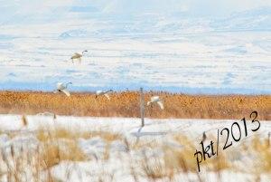 DSC_12254web-swans-landing