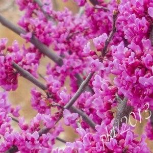 IMG_7481redbud-blossoms