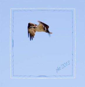 DSC_5677osprey-in-flight-decor