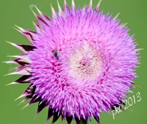 DSC_6890thistle-bee