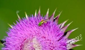 DSC_6913green-bee-thistle