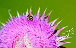 DSC_6916thistle-bee