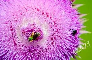 DSC_6929thistle-bees