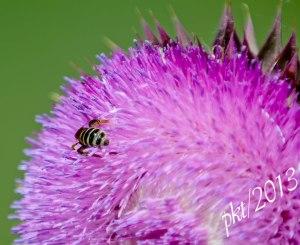 DSC_6950-thistle-bee