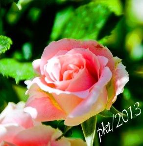 DSC_7463pink-rose