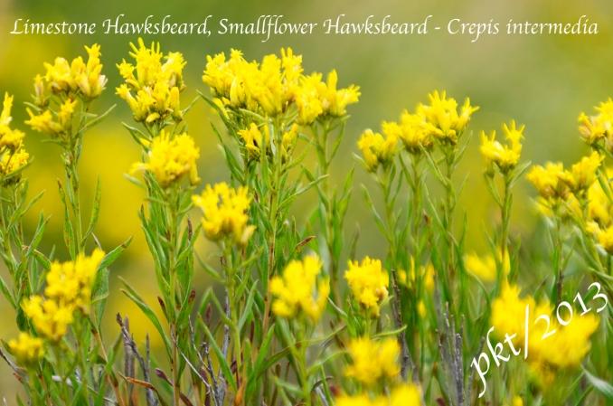 _DSC0816.limestone hawksbeard