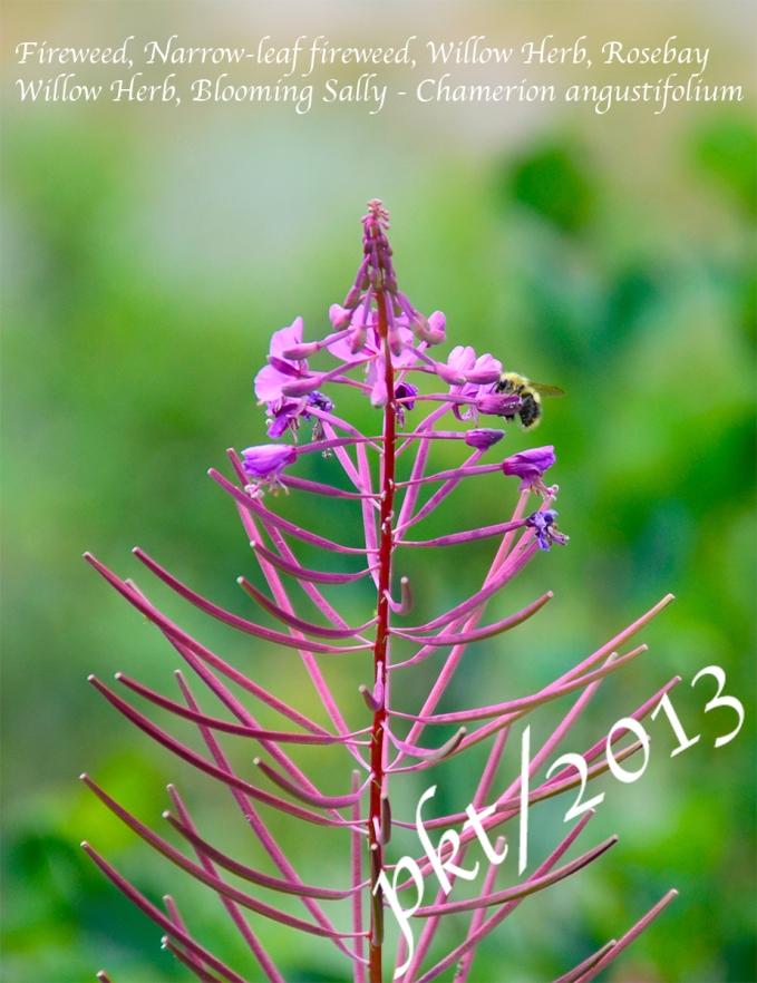 _DSC0931.fireweed