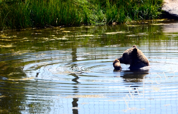 _DSC1531.bear in water