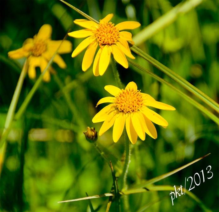 DSC_9851yellow-flowerArrowleaf-Balsomroot-(Balsamorhiza-sagittata)