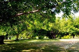 _DSC3086peach-orchard