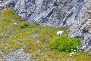 _DSC7317 copy.mountain goat