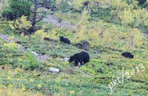_DSC7815Waterton Canada mama bear 2 cubs snow