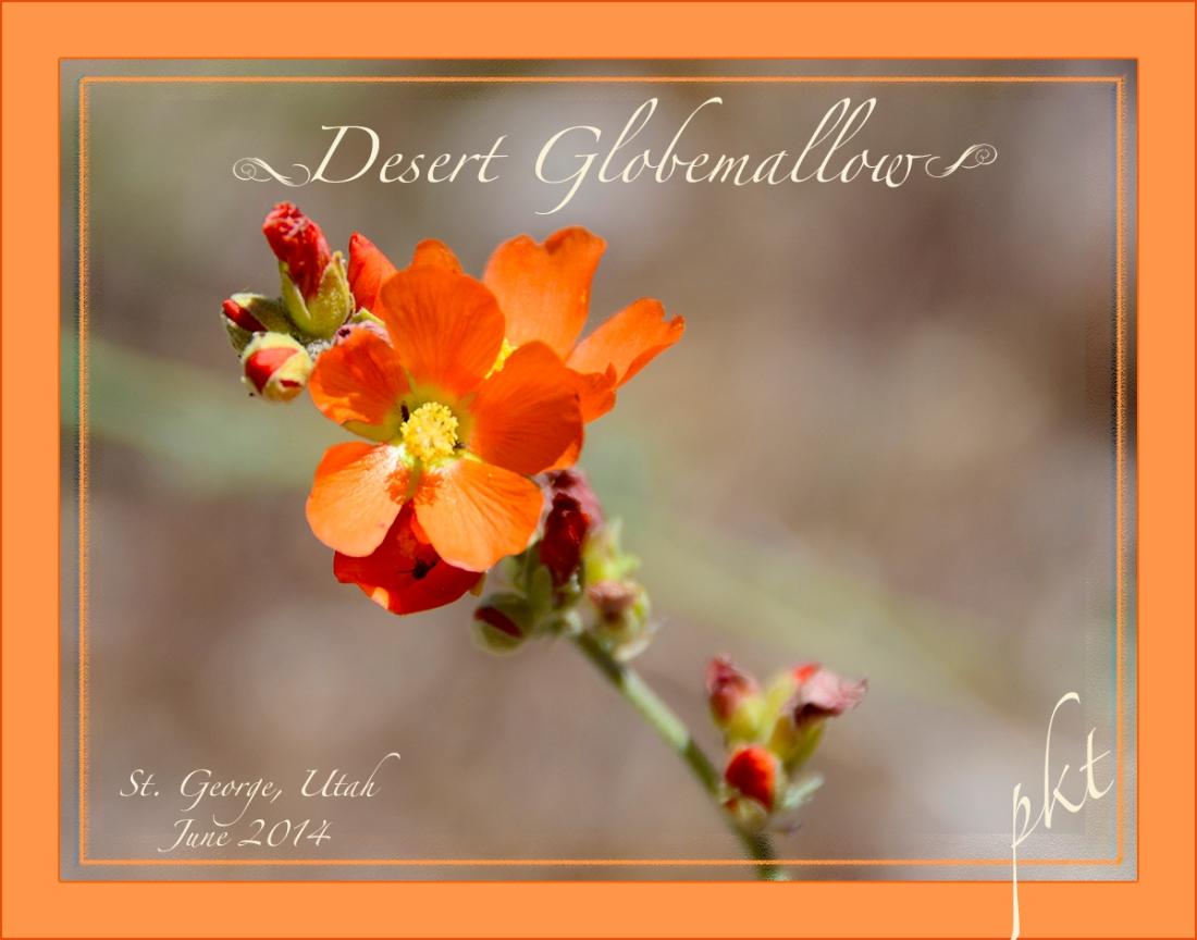 web_DSC7963deseret globemallow