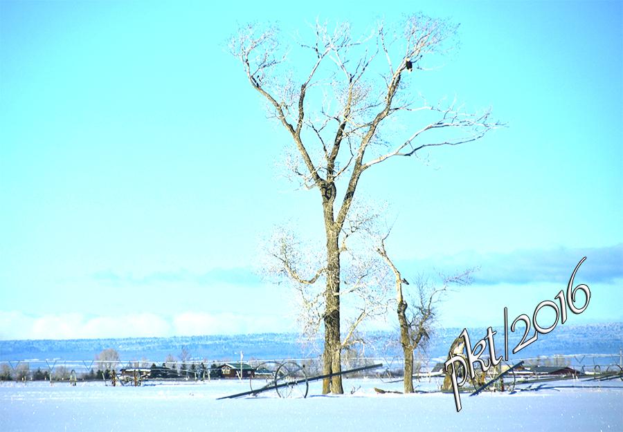 web eagle in tree_DSC7945