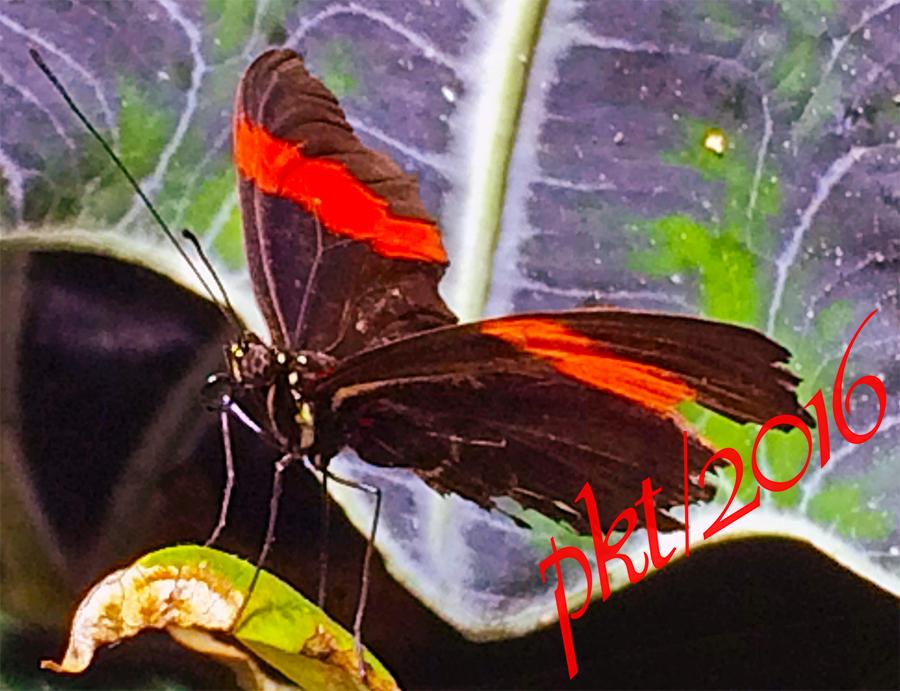 web biblis hyperia red rims nymphalidae family sig IMG_6086