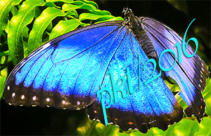 web blue morpho butterfly sig IMG_0162_3