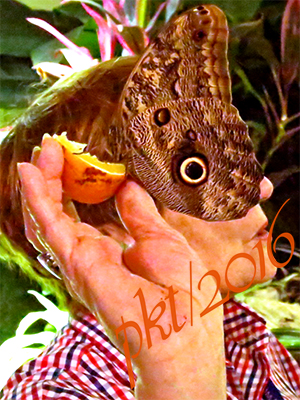 web blue morpho eating orange face sig IMG_0204_2