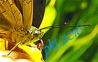 web blue morpho tongue closeup sig IMG_0100_4