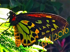 web Ornithoptera priamus- Priam's Birdwing Butterfly sig IMG_6093
