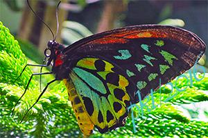 web Ornithoptera priamus sig IMG_0167_3