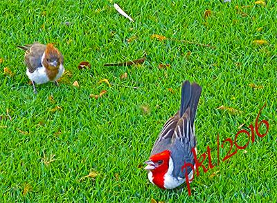 web cardinal male juvenille sig IMG_0244