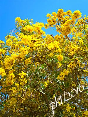 web golden shower tree sig IMG_0222.jpg