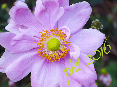 web pink anemone sig IMG_0008