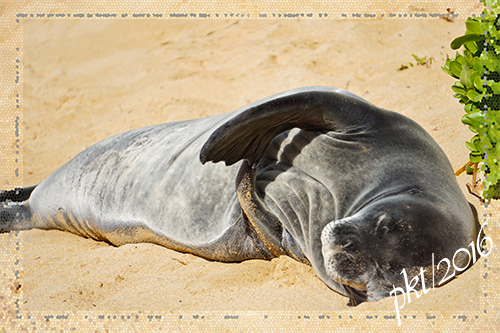 web monk seal Marriot beach sigDSC01548